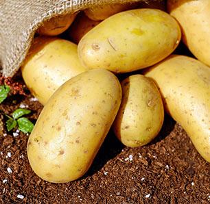 Pootaardappelen en Plantuien